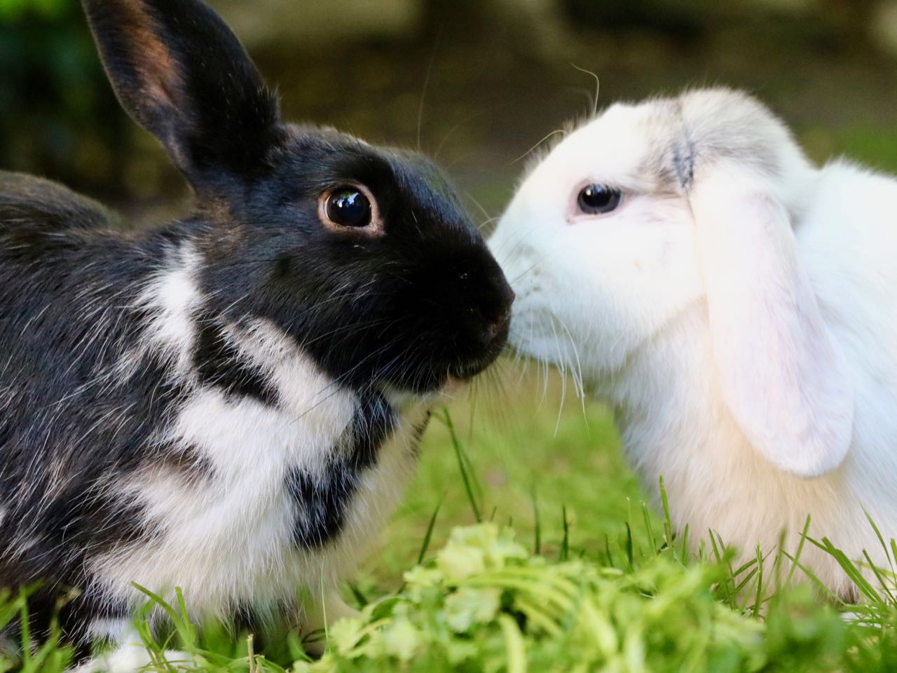 7 Reasons why Rabbits are Better Pets than Dogs