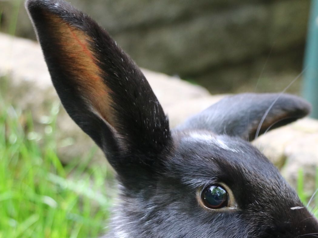 How rabbits hear the world: in-depth guide