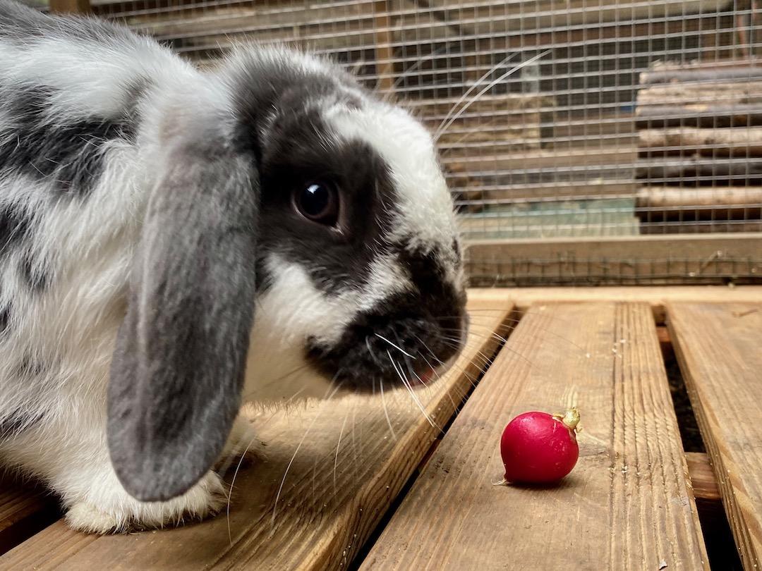 Can rabbits eat radishes?