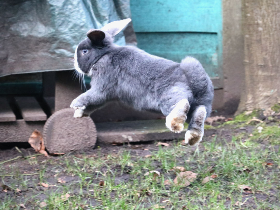 How high can rabbits jump?