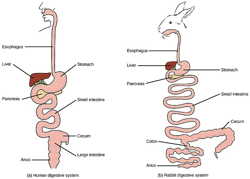Digestive system of humans and rabbits